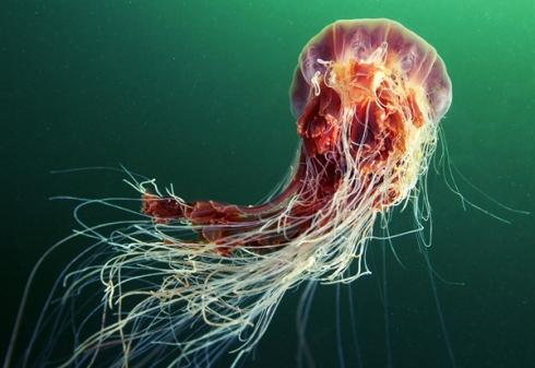 Jellyfish-Madness6
